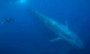 Самое большое животное из ныне живущих на Земле – синий, или голубой кит